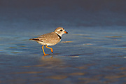 Stock photo of piping plover captured in Florida.  This small plover inhabits sandy beaches and tidal flats. It's diet includes insects, marine worms and crustaceans.