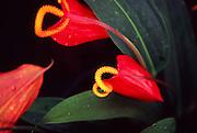 pigtail anthurium, Maui, Hawaii<br />