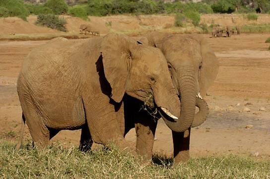 African Elephant ( Loxodanta africana) Couple holding one another with trunks. Samburu Game Reserve. Kenya. Africa.