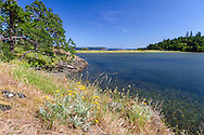 Garry Oaks (Quercus garryana) and Woolly sunflower (Eriophyllum lanatum) growing along the shore of Piper's Lagoon in Nanaimo, British Columbia, Canada