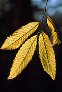 Chestnut tree leaves, England, UK