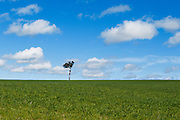 Single tree at top of pasture field under blue sky with cumulus clouds near Yass, New South Wales, Australia. <br /> <br /> Editions:- Open Edition Print / Stock Image