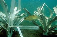 Male largemouth bass guarding newly hatched fry around a Fish Hiding Structure.<br /> <br /> ENGBRETSON UNDERWATER PHOTO