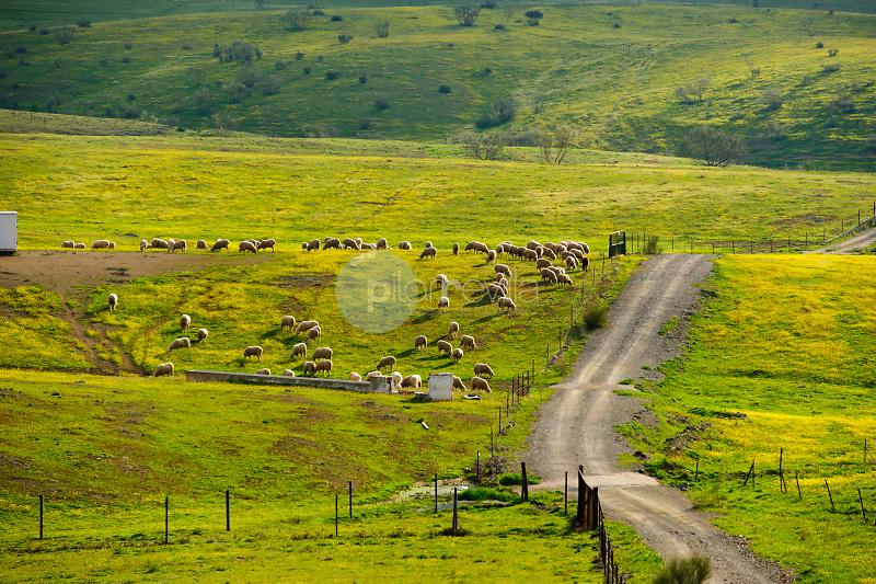 Rebaños de ovejas en Mestanza. Valle de Alcudia. Ciudad Real. ©Antonio Real Hurtado / PILAR REVILLA