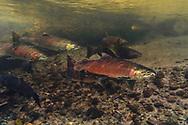 Coho Salmon<br /> <br /> Fernando Lessa/Engbretson Underwater Photography