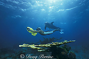 JoJo, a wild sociable bottlenose dolphin, Tursiops truncatus, or ambassador dolphin, swims with a friend over a reef with elkhorn coral, Acropora palmata, off Providenciales ( Provo ), Turks and Caicos Islands ( Western Atlantic Ocean ) MR 151