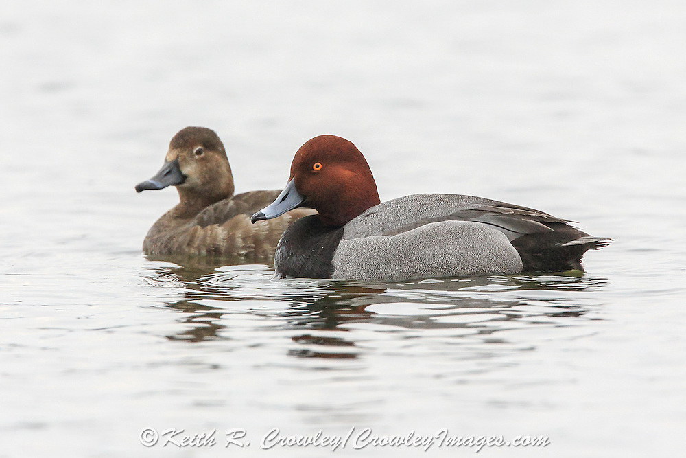 Redhead ducks swimming.