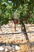 Vines equipped with black rubber or plastic tubes for artificial drip irrigation watering. Lime stone limestone based very white soil, very much stones pebbles rocks. Zilavka grape variety. A plastic container trap hanging on a vine. Filled with a mix of vinegar and sweet fruit juice to attract insects moths flies. To monitor and capture insects. One of their best vineyards with very poor soil on a hilltop mountain near Citluk and Zitomislic. Vinarija Citluk winery in Citluk near Mostar, part of Hercegovina Vino, Mostar. Federation Bosne i Hercegovine. Bosnia Herzegovina, Europe.
