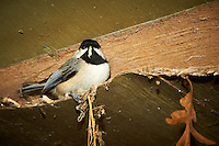 Black-capped Chickadee trying to keep warm. Image taken with a Nikon D300 and 18-200  mm VR lens (ISO 800, 200 mm, f/5.6, 1/60 sec, flash).