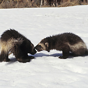A pair of wolverine kits playing together in the snow during early spring. Rocky Mountains of Montana, Captive Animal