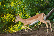 Impala fawn running, Chobe National Park, © David A. Ponton
