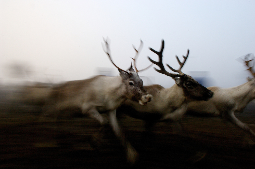 A trio of reindeer sprint through the morning mist in Hirvas Salmi, Finland. On the second day of the roundups Sami herdsmen lasso their calves and corral them for slaughter on the following morning...
