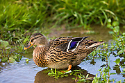 Female Mallard Duck paddles in a stream, The Cotswolds, Oxfordshire