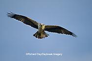 00783-01120 Osprey (Pandion haliaetus) male in flight    FL