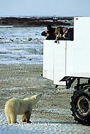 01874-089.20 Polar Bear (Ursus maritimus) near Tundra Buggy  Churchill  MB