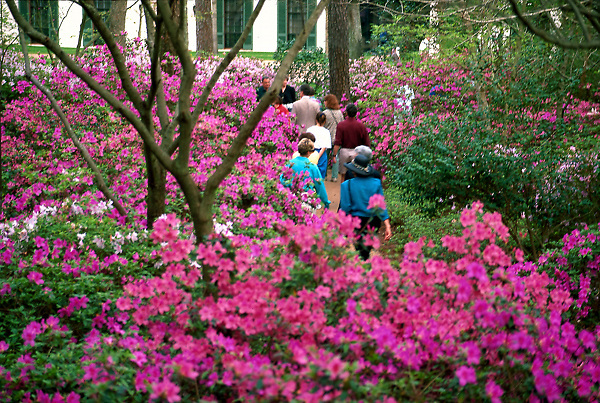 Stock photo of visitors walking among the azaleas in Bayou Bend Park