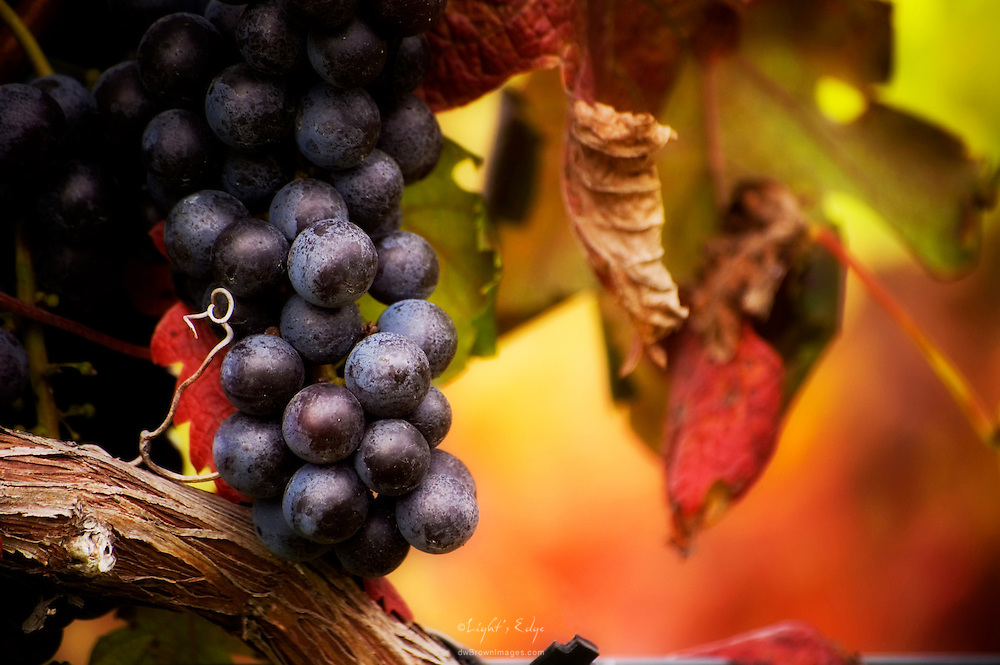 Grapes hang on the vine just prior to harvest.