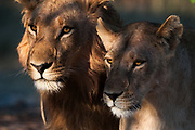 Lions, Panthera leo, Chief Island, Moremi Game Reserve, Okavango Delta, Botswana.