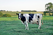 Nederland, Voerendaal, 15-9-2020 Koe, in de wei bij het dorp Urbach. Foto: ANP/ Hollandse Hoogte/ Flip Franssen