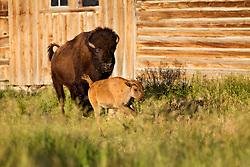 cow and calf Bison, Moulton Barn, Grand Teton National Park