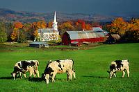 Cows in pasture, Peacham, Vermont USA