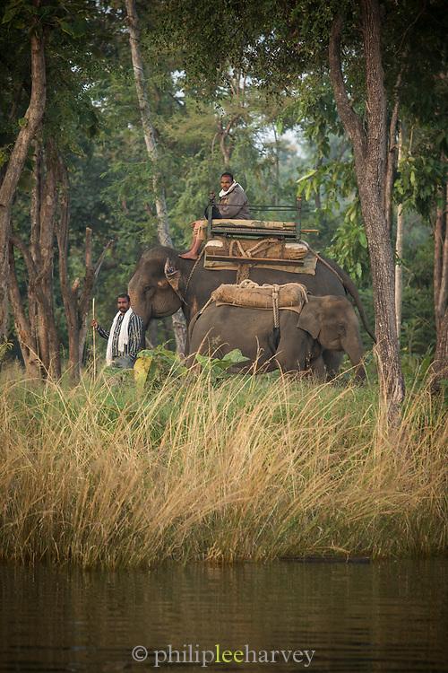 Side view of Asian elephant used for tourist safaris, Satpura National Park, Madhya Pradesh, India