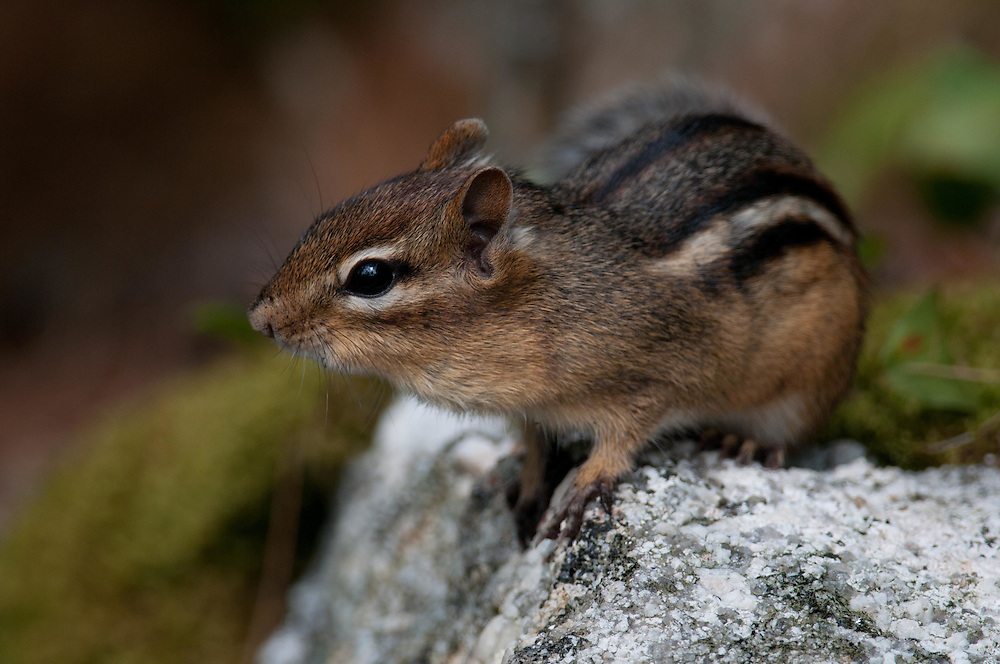 Eastern Chipmunk on a rock in Maine