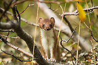 """Weasel as seen near the Tashenshini River. The """"Tat"""" flows out of Yukon, CA, through British Columbia and empties into Glacier Bay National Park in Alaska, US. near the Tashenshini River. The """"Tat"""" flows out of Yukon, CA, through British Columbia and empties into Glacier Bay National Park in Alaska, US."""