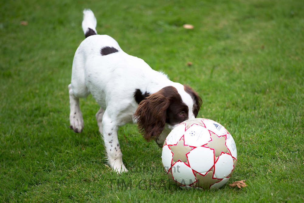 Springer Spaniel dog playing ball in England