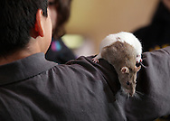 """Middletown, New York - A domestic rat crawls on a child's arm at the Interactive Museum during Jan Berlin's program """"Live Animals from Around the World"""" on Feb. 7, 2010."""