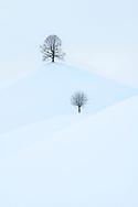 Zwei Linden (Tilia sp.) auf Hügeln in der tief verschneiten Drumlinlandschaft bei Menzingen bei diffuser Bewölkung, Kanton Zug, Schweiz<br /> <br /> Two linden trees (Tilia sp.) On hills in the snow-covered Drumlin landscape near Menzingen with diffuse clouds, Canton Zug, Switzerland