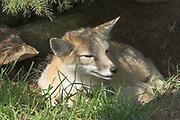 Swift fox, Vulpes velox, (C), Shubenacadie Wildlife Park,  Nova Scotia, Canada