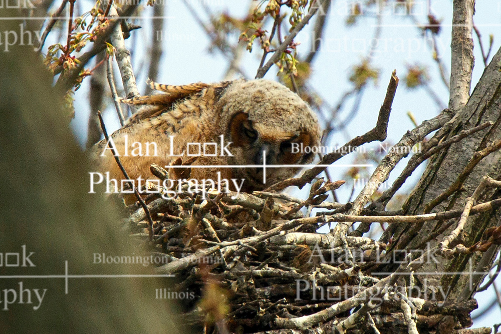 Great Horned Owl or Owlet (Bubo virginianus)