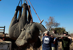 23/08/2017 .  Charles, one of the two elephant bulls that was captured today to be relocated from Dinokeng Game Reserve to Zinave National Park in Mozambique by Elephants, Rhino & People (ERP) <br />Picture: Jacques Naude/African News Agency(ANA)