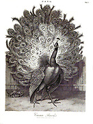19th century Copperplate engraving of a Common Peacock From the Encyclopaedia Londinensis or, Universal dictionary of arts, sciences, and literature; Volume XIX;  Edited by Wilkes, John. Published in London in 1823