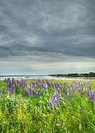 Lupines in full bloom and a dramatic sky over Fort Hill in the Cape Cod National Seashore.