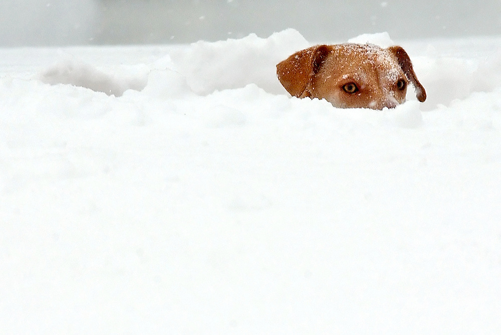 A dog called Ken peaks up above the snow at River Meadow Farm in Windsor, Conn.  A major storm slammed the mid-Atlantic and Northeast states on Sunday with nearly 2 feet of windblown snow, nearing record levels as it blacked out thousands of customers and shut down air travel from Washington to Boston.