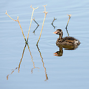 Juvenile Little Grebe (Tachybaptus ruficollis) in a pond. Photographed in Israel in June