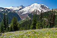 Mount Rainier towers above the White River Valley in late Summer from the vantage point of the Sunrise Rim Trail.  Foreground flowers are Alpine Aster (Aster alpigenus) and Paintbrush (Castilleja parviflora).