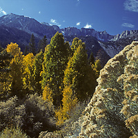 Rabbitbrush, fall-colored aspens and Jeffrey Pines thrive in Lee Vining  Canyon below Mount Dana, in California's Sierra Nevada.