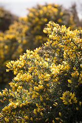 Common Gorse (furse, whin) growing on cliffs in Cornwall. Ulex europaeus