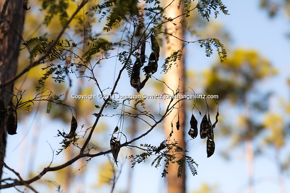 Hanging seed pods on a tree in Everglades National Park, Florida. WATERMARKS WILL NOT APPEAR ON PRINTS OR LICENSED IMAGES.