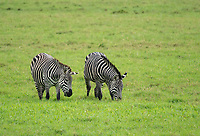 Grant's Zebras, Equus quagga boehmi, in Arusha National Park, Tanzania
