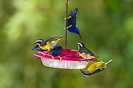 Banaquits (Coereba flaveola) and Purple Honeycreepers (Cyanerpes caeruleus )on a hummingbird feeder. (Trinidad)