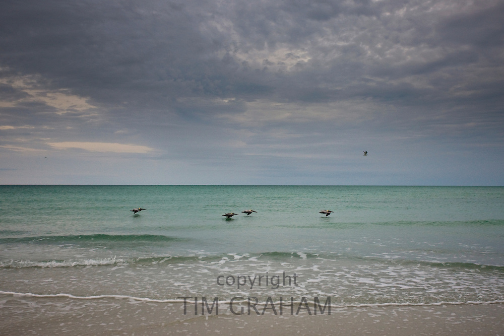 Brown pelicans in flight off the Florida coast in the Gulf of Mexico by Anna Maria Island, United States of America