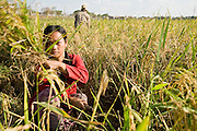 16 MARCH 2006 - KAMPONG CHAM, KAMPONG CHAM, CAMBODIA: Harvesting rice by hand using a scythe to cut the rice stalks near the city of Kampong Cham on the Mekong River in central Cambodia. Almost every part of the rice plant is used in Vietnam and Cambodia. The rice grains are eaten, the stalks are fed to livestock as hay and the husks are burned for fuel. The ash from the husks is then used as fertilizer in the paddies. Rice in this part of Cambodia is still cut by hand. In Vietnam and Thailand, which are larger rice exporters, rice is cut by mechanical harvesters are large industrial farms. Photo by Jack Kurtz / ZUMA Press