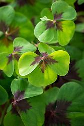 Oxalis tetraphylla 'Iron Cross'. Shamrock, Sorrel, Good luck plant.