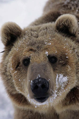 Grizzly Bear, (Ursus horribilis) Montana. Grizzly bear portrait.  Captive Animal.