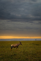 A lone Topi at sunrise in the Masai Mara National Park, Kenya