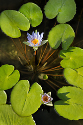 Water Lily, Purple #7